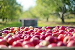 boomgaard met kist appelen
